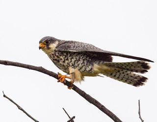 Amur Falcon (Falco amurensis) Amur-Rotfußfalke Female - weiblich