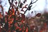 Dead leaves (Clara Silvestri) Tags: leaves autumn deadleaves red
