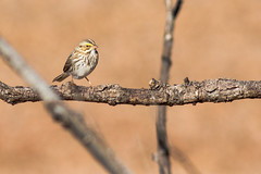 Savannah Sparrow (gilamonster8) Tags: yellow quality arizona az american wing water white waterbirds waterbird sky smoke stick explore explored eyes eos eat ef400mm56l eyeball eating desert color canon flight flickrelite fly view tail talons tree twig green gray great garden grass bird blue bokeh beyondbokeh beak bill black brown ngc usa marsh insect lake orange park plant pollen pond