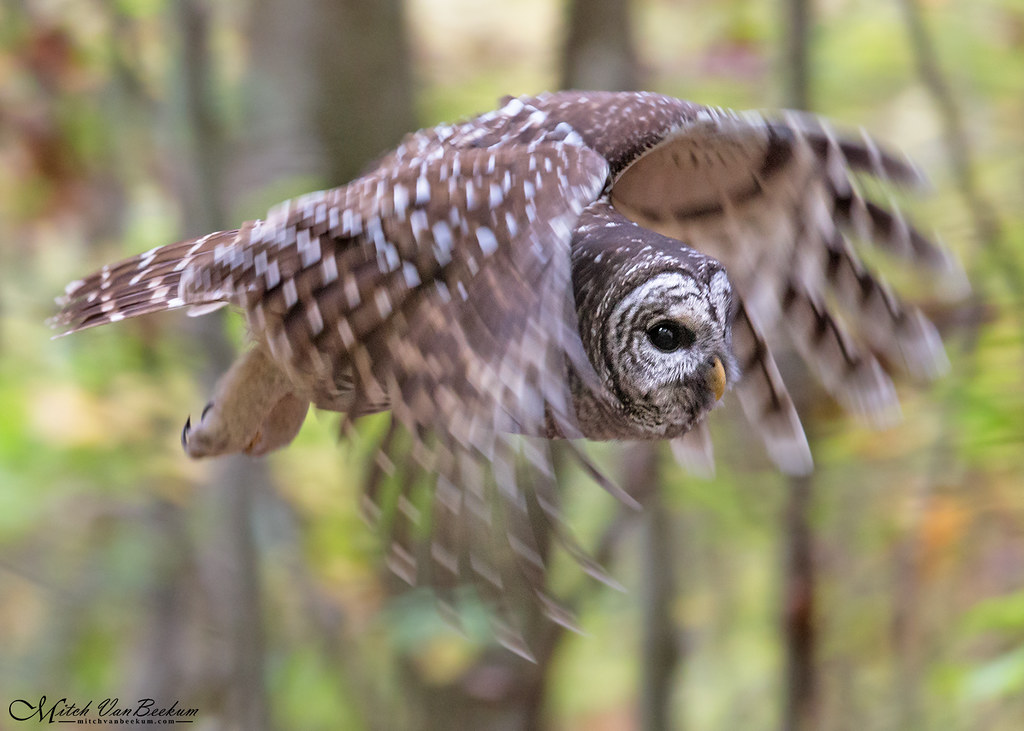 Barred Owl In Flight