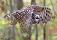 Barred Owl In Flight (Mitch Vanbeekum Photography) Tags: barredowl barred owl inflight flying fly motion autumn fall colors foilage greatswamp morriscounty nj newjersey canon14teleconvertermkiii canoneos1dx canonef500mmf4lisiiusm mitchvanbeekum mitchvanbeekumcom strixvaria