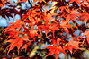 Autumn Leaves - Swift Creek Reservoir, Midlothian, VA (Paul Diming) Tags: flowersplants pauldiming 2012natureconservancy fall sweetgum liquidambarstyraciflua d5000 photocontesttnc12