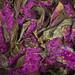 purple forest floor (gnarlydog) Tags: adaptedlens ezuiko45cmf28forolympusace nature australia forest detail flowers purple surreal leaves manualfocus