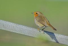 Robin (Dave Brotherton Wildlife Photography) Tags: bird birds robin avian nikon nature wildlife outabout tamron tamron150600 d7100 davebrothertonphotography