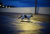 Walking cat (yenhui01) Tags: cat cats 馬崗 leica summilux 75mm sony a7ii a7m2 貓 猫 ねこ leicafan