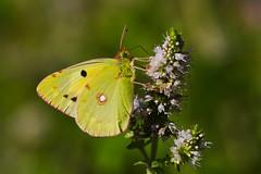 Colias croceus (5) (JoseDelgar) Tags: insecto mariposa coliascroceus 425874288735056 josedelgar naturethroughthelens coth alittlebeauty coth5 ngc npc