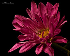 Beckoning 1101 Copyrighted (Tjerger) Tags: nature beautiful beauty black blackbackground bloom blooming closeup fall flora floral flower green macro mum pink plant portrait red single wisconsin yellow beckoning natural