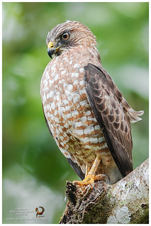 Broad-winged Hawk / Gavilán Aludo