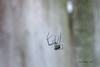 Orb Weaver (jimtrebes1) Tags: spider orb weaver webs nature back yard canon t6i spiders