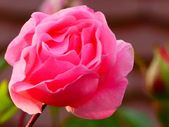 P1090286 (wdeck) Tags: rosen roses