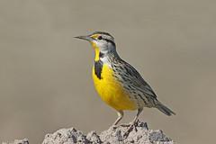 Eastern Meadowlark (Alan Gutsell) Tags: eastern meadowlark easternmeadowlark songbird alan nature wildlifephoto texasbirds attwaternwr nationalpark birding