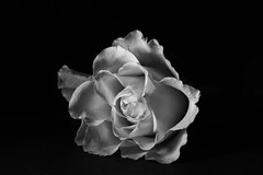 365 - Image 330 - B&W Rose... (Gary Neville) Tags: 365 365images photoaday 2017 sony sonyrx10iv rx10iv rx10m4 garyneville