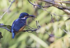 Hora del desayuno (Noa Táboas) Tags: alcedo atthis martin pescador aves rio louro