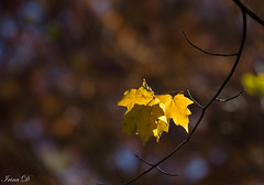 Still hanging (Irina1010) Tags: leaves autumn yellow golden branch tree light bokeh hanging nature canon ngc npc