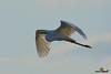 A-LUR_2141 (OrNeSsInA) Tags: trasimeno uccelli bird natura italia umbria castiglionedellago ornessina lucarosi nikon tamron byrd lago chiusi siena perugia aironi cormorani