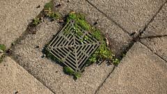 grate (Francis Mansell) Tags: paving pavingslab diagonal pattern drain grating wade plant seed kew kewgardens royalbotanicgardenskew