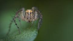 Small Spider (3mm) (Dean Lerman) Tags: spider insect bug dean lerman macro nikon lomo