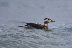 Long-tailed Duck at Vik S24A4769 (grebberg) Tags: longtailedduck clangula duck bird clangulahyemalis vik klepp rogaland norway november 2017