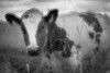 Curious cow (Helena Normark) Tags: curiouscow cow skjetlein pictorialism glow glowing trondheim sørtrøndelag norway norge sonyalpha7 a7 50mm monocle монокль monolens russianlens