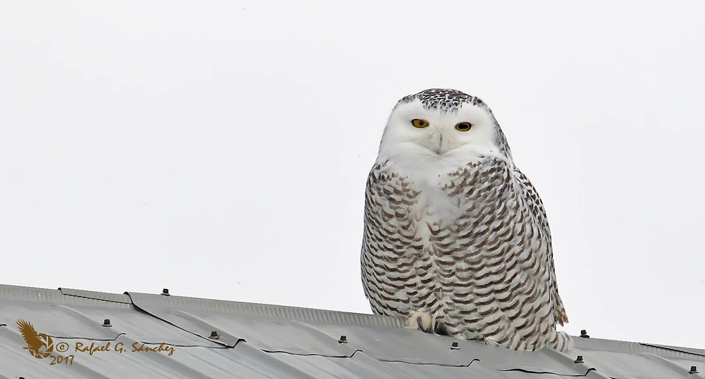 Snowy owl - Harfang des neiges - Búho nival - Bubo scandiacus
