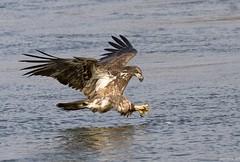 In for the Kill (swmartz) Tags: eagle nikon nature outdoors november 2017 conowingo dam maryland