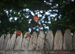 DSC07069 (Old Lenses New Camera) Tags: sony a7r kodak ektar anastigmatektar bantamspecial 45mm f2 plants garden autumn tree leaves branches fence wood texture