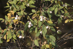 "Snowberries • <a style=""font-size:0.8em;"" href=""http://www.flickr.com/photos/63501323@N07/38093667796/"" target=""_blank"">View on Flickr</a>"