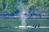 Alert Bay Orcas (Warp Factor) Tags: alertbay canont4i orcas summer2017 whales sealife vacation wilderness wildlife killerwhale tamron150600mm alertbaycanont4ihumpbackorcassummer2017whalessealifevacationwildernesswildlife