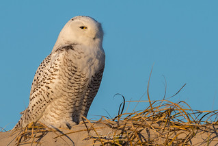 Snowy Owls of New Jersey   2017 - 15