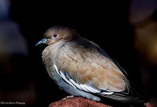 Dove at twilight