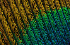 Peacock Feather (3) (Can Tunçer) Tags: can cantunçer cantuncer canon6d canon closer macro makro macros macrophotography micro mikro makros microscope microscop mitutoyo mitu5x mm stack stacking studio setup stand tunçer turkey turkiye türkiye tuncer tabletop izmir ikea istifleme jansö jansjö peacock feather tüy