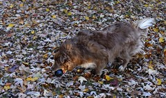 Playing Ball (Feeling Better...Still Slow To Comment!) Tags: ddc shizandra playing ball inthebackyard action 2198 dog female red bordercolliemix running leaves