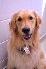 (John Donges) Tags: animal pet dog patient goldenretriever 1371