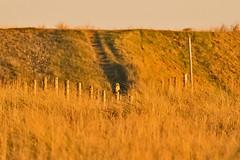 _W4A1159 Short Eared Owl (Asio flammeus) (ajmatthehiddenhouse) Tags: kent uk worthmarshes 2016 bird asioflammeus asio flammeus shortearedowl