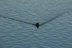 _W4A1312 Eurasian Coot (Fulica atra) (ajmatthehiddenhouse) Tags: kent dungenessrspb 2016 bird uk dungeness fulica atra fulicaatra eurasiancoot coot