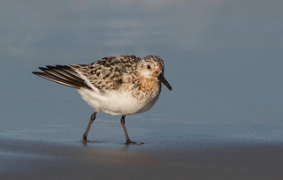 Sanderling Nickerson beach ny.