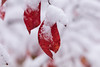 It started with a snow-flake and now snow sticks on me  HMM (Irina1010_out for sometime) Tags: twig smallbranch leaves red snow macro bokeh macromondays stick nature canon winter december2017