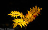 Autumn leaves (2000stargazer) Tags: autumn autumncolours fall colours yellow leaves nature macro canon october