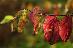 From green to red.... (eleni m, longing for spring...) Tags: fall autumn tree branche leaves red green yellow dof bokeh nature outdoor macro