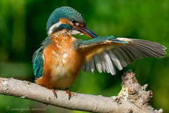 Pulizie (alcedo atthis) (rubacolor) Tags: birds alcedo atthis penne natura