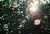 Afternoon delight (Katie Tarpey) Tags: lensflare sun light afternoonlight spring flowers trees leaves nature afternoondelight film 35mm agfa agfavistaplus400 nikonfm10 nikkor50mm14