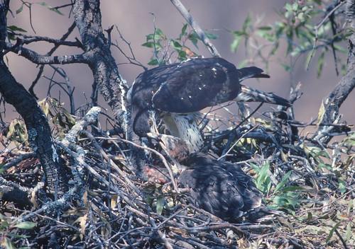 African Hawk Eagle , feeding younh in Boekenhout nesting tree, Nylstroom 1383