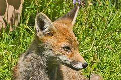 033-_W4A4247 Fox Cub (Vulpes vulpes) (ajmatthehiddenhouse) Tags: stmargaretsatcliffe kent uk 2017 garden fox mammal vulpes vulpesvulpes redfox