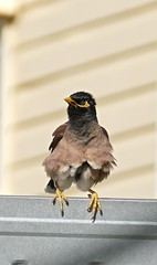Common Myna bird Acridotheres tristis now in Proserpine Area NQ P1440196 (Steve & Alison1) Tags: common myna bird acridotheres tristis now proserpine area nq