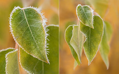 frosty leaves diptych (marianna_a.) Tags: frost leaf leaves green autumn fall crystals crunchy macro details montana glacierpark usa mariannaarmata
