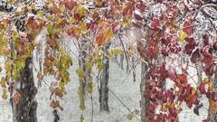 * E la neve venne a trovare i colori * And the snow came to fin d the colours * (argia world 1) Tags: autunno autumn vigneto vineyard campagnadimodena modena modenacountryside neve snow fiocchidineve snowflakes foglie leaves colori colours campo field