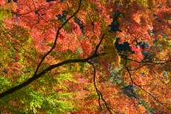 Tree of Life in Autumn (somazeon) Tags: japan m43 lumix panasonic 日本 鳥取 tottori