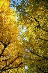 2017 Autumn leaves #6 (Yorkey&Rin) Tags: 2017 autumn autumnleaves bluesky em5markii ginkgo japan jingugaien lumixg20f17 november rin smartphone sunday tokyo uc120016 銀杏 銀杏並木 秋 神宮外苑 青空 東京都 日曜日