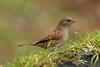 Dunnock (david.england18) Tags: dunnock smallbirds various tits blue great coal localpark canon7dmkll canonef70200mmf28lisllusm