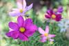 Cosmos (crafty1tutu (Ann)) Tags: macro flower cosmos pink mix pretty colourful garden mygarden inmygarden crafty1tutu canon7dmkii canon60mm28efsmacrolens anncameron naturethroughthelens bright plant